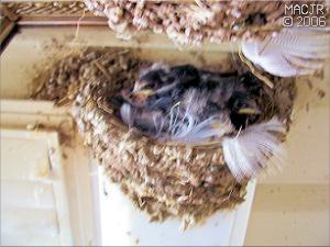 Chicks Mirrored